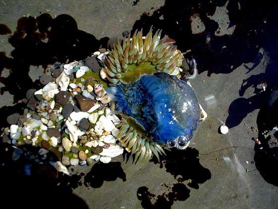 anémona se come una medusa azul