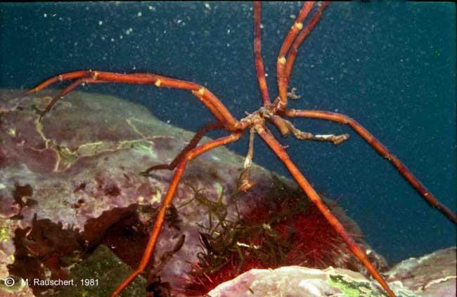 araña de mar Pycnogonida indet