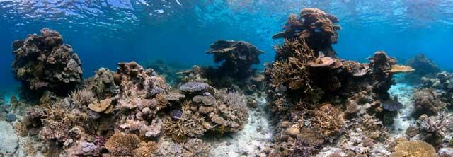 arrecifes de coral son dañados por algas tóxicas