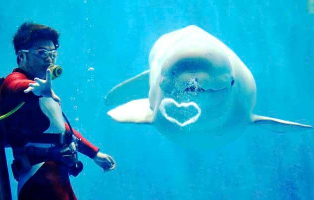 ballena beluga haciendo una burbuja