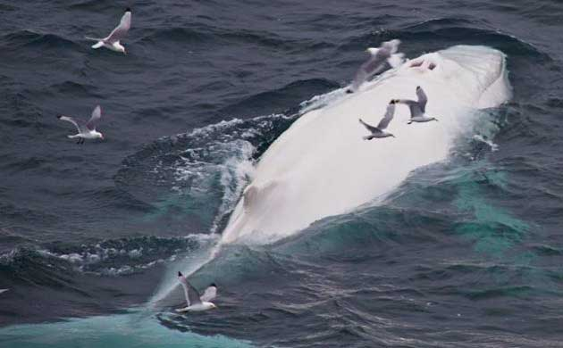 ballena jorobada blanca avistada en Noruega