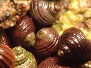 bígaros rugosos (Littorina saxatilis)