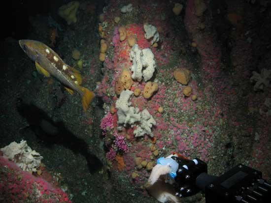 brazo del ROV recoje muestras en las islas Farallon