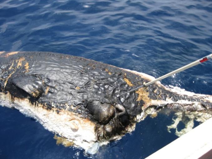 cachalote petroleado vertido del Golfo de México en 2010