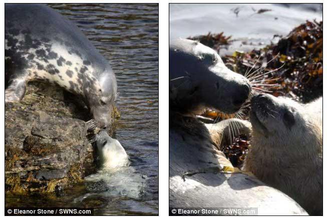 hembras de foca gris con sus cachorros en la isla de Man