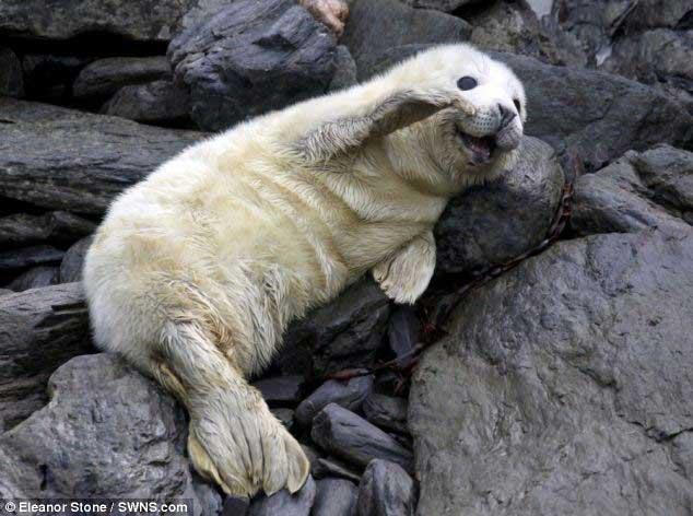 cachorro de foca gris en la isla de Man