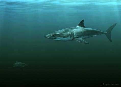tiburón Carcharodon hubbelli, dibujo artístico