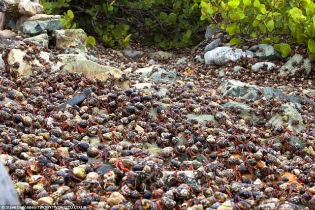 migración cangrejo ermitaño del Caribe Coenobita clypeatus