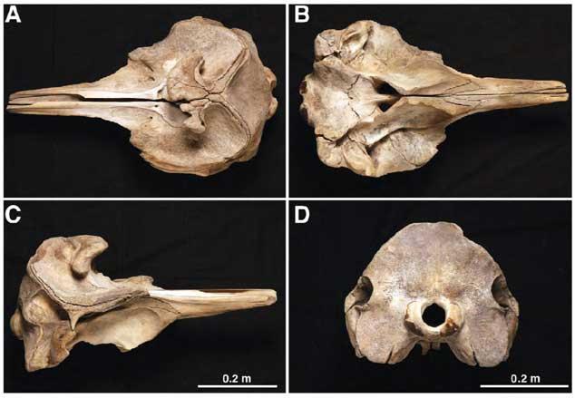 cráneos de Mesoplodon traversii