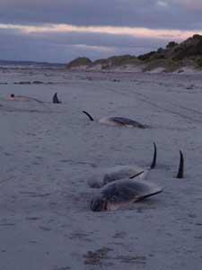 delfines varados en Tasmania noviembre 2012
