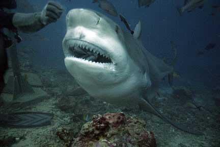 dientes de tiburón toro (Carcharhinus leucas)