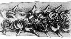 Dosidicus gigas - pinchos en el tentáculo