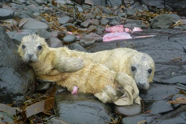 focas gemelas nacidas en las islas Farne