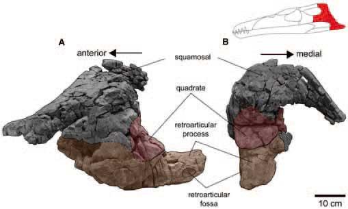 fragmento del cráneo de Pliosaurus funkei