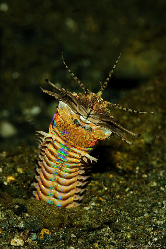gusano Bobbit (Eunice aphroditois)