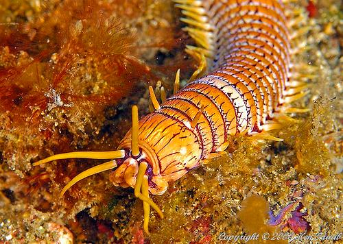 gusano marino Bobbit