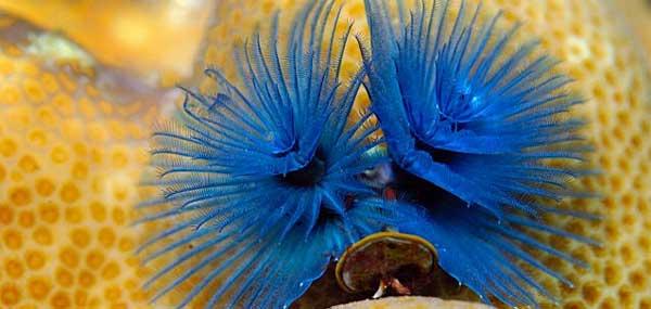 gusano marino de tubo