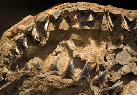mandíbulas fósiles del tiburón Carcharodon hubbelli
