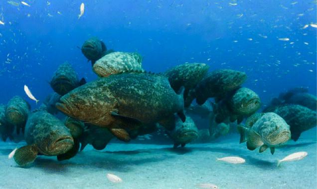 un grupo de meros goliat (Epinephelus itajara)