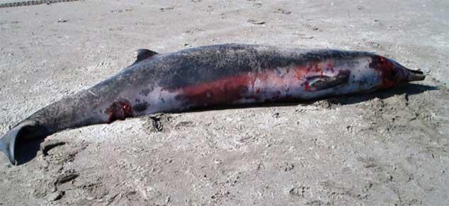 ballena Mesoplodon traversii varada en Opape, Nueva Zelanda