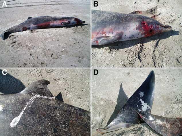ballenas Mesoplodon traversii varada en Opape, Nueva Zelanda