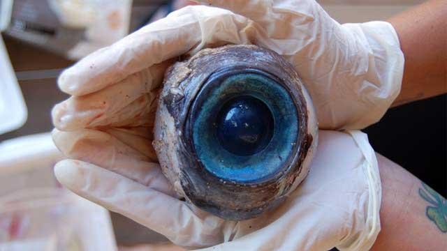 ojo de pez espada gigante encontrado en Florida