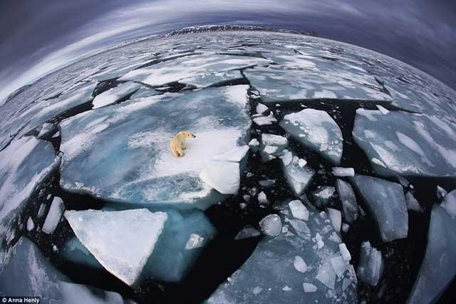 oso polar en los hielos cerca de Svalbard, Noruega