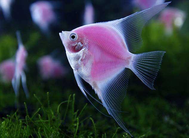pez ángel brillante Archocentrus nigrofasciatus var