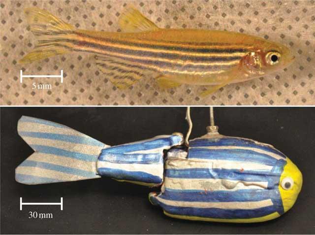 pez cebra y un robot de pez cebra