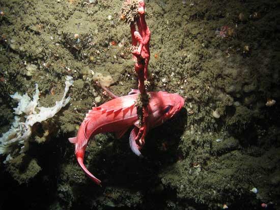 pez de roca sobre un coral rojo chicle (género Paragorgiidae)