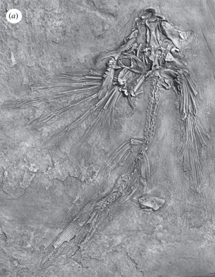 pez volador fósil (Potanichthys xingyiensis)