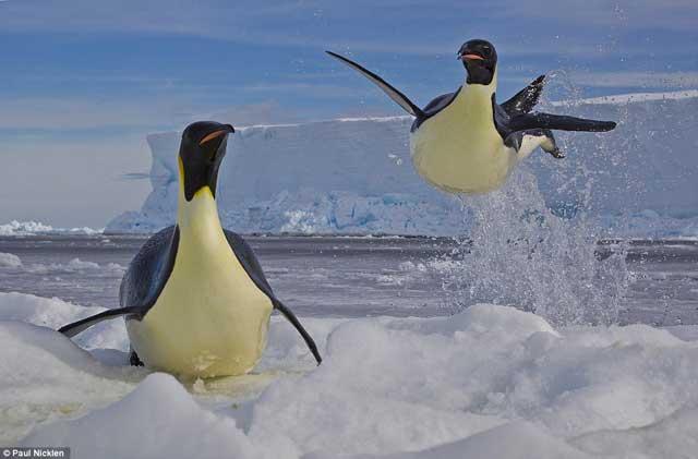 pingüino emperador escapa de una foca leopardo