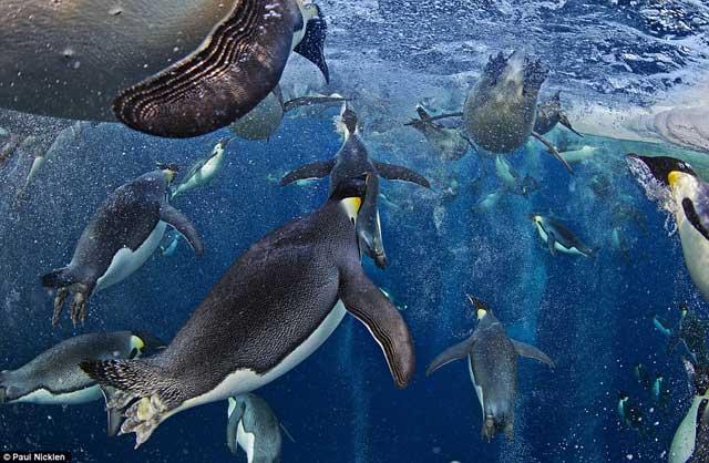 pingüinos nadan bajo el hielo en la Antártida, premio Veolia 2012