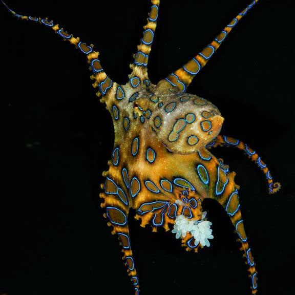 pulpo de anillos azules (Hapalochlaena lunulata)