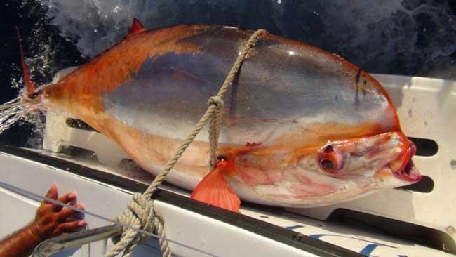 raro y gigante pez louvar capturado en Cabo México