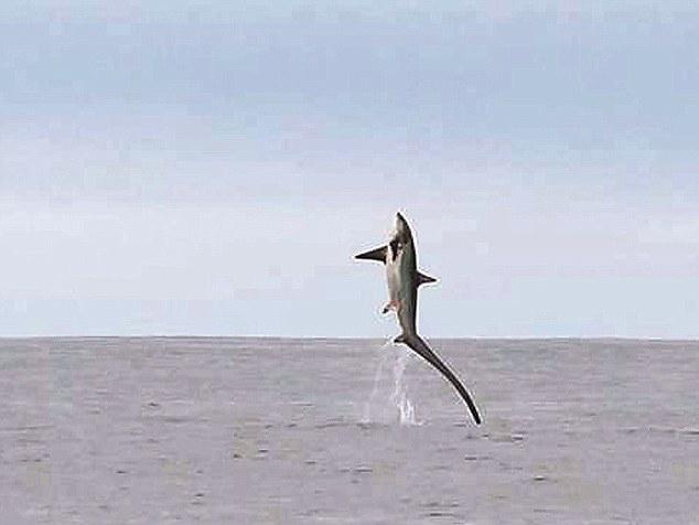 salto de un tiburón zorro frente a la costa de Gales
