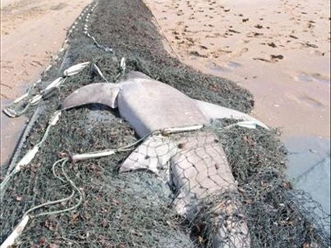 tiburón atrapado en una red fantasma