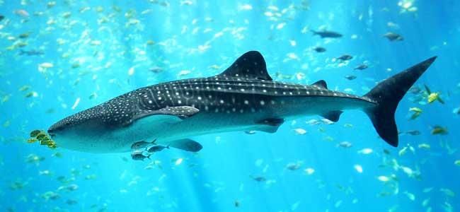 tiburón ballena en el Georgia Aquarium