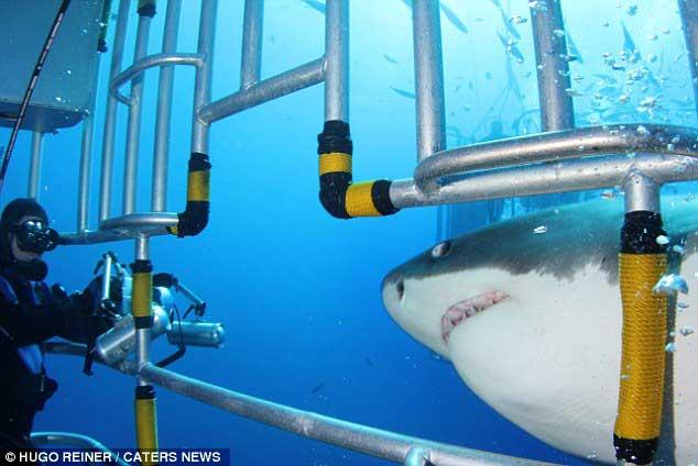 tiburón blanco durante un ataque