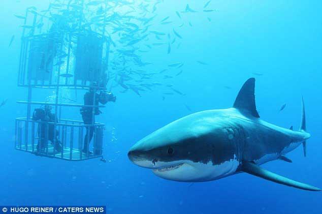 tiburón blanco nada cerca de una jaula de observación