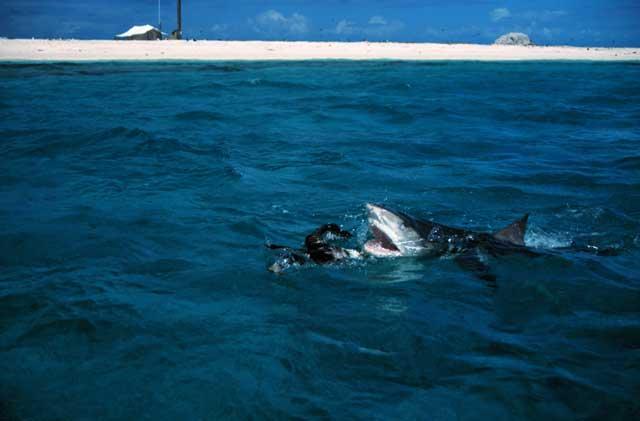 tiburón tigre ataca un albatros en French Frigate Shoals