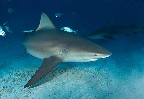 tiburón toro (Carcharhinus leucas)