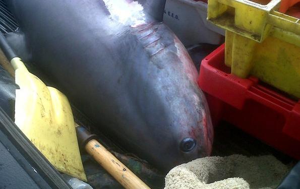 tiburón zorro capturado en Cornualles