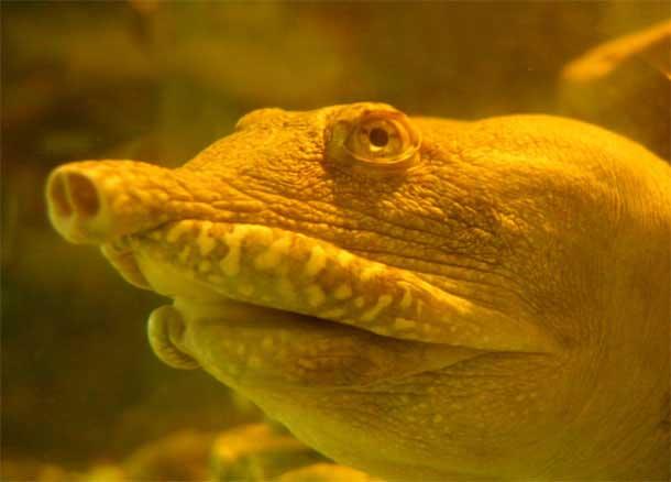 tortuga china de caparazón blando