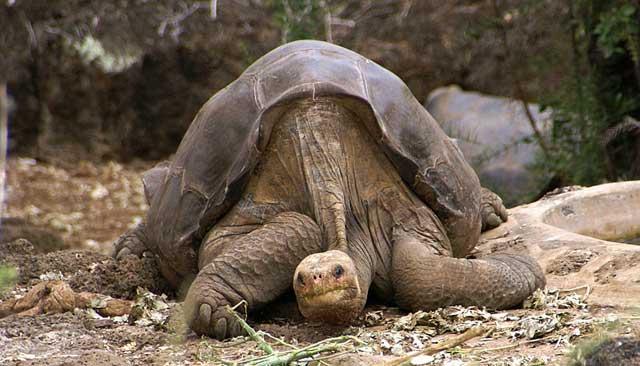 tortuga gigante de la Pinta, Galápagos