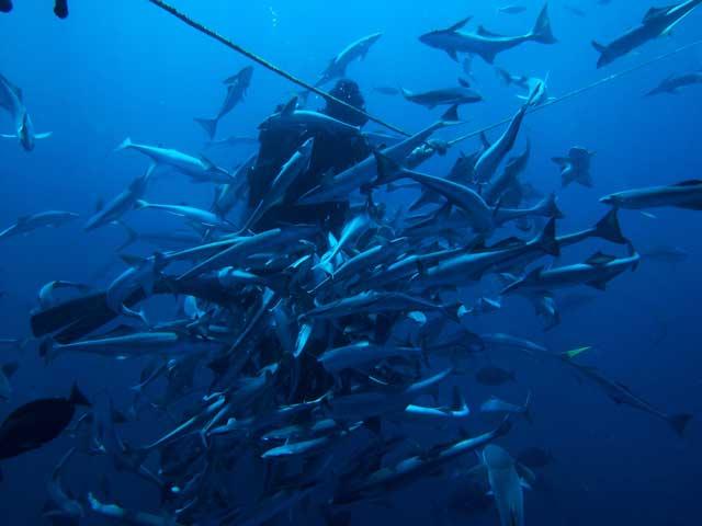 alimentando tiburones