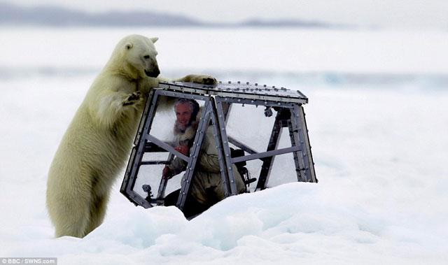 ataque de un oso polar a fotógrafo