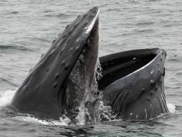 ballena azul comiendo
