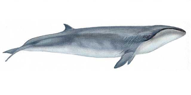 ballena franca pigmea (Caperea marginata)