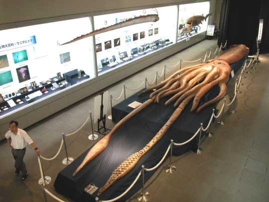 calamar gigante (Architeuthis dux) en un museo